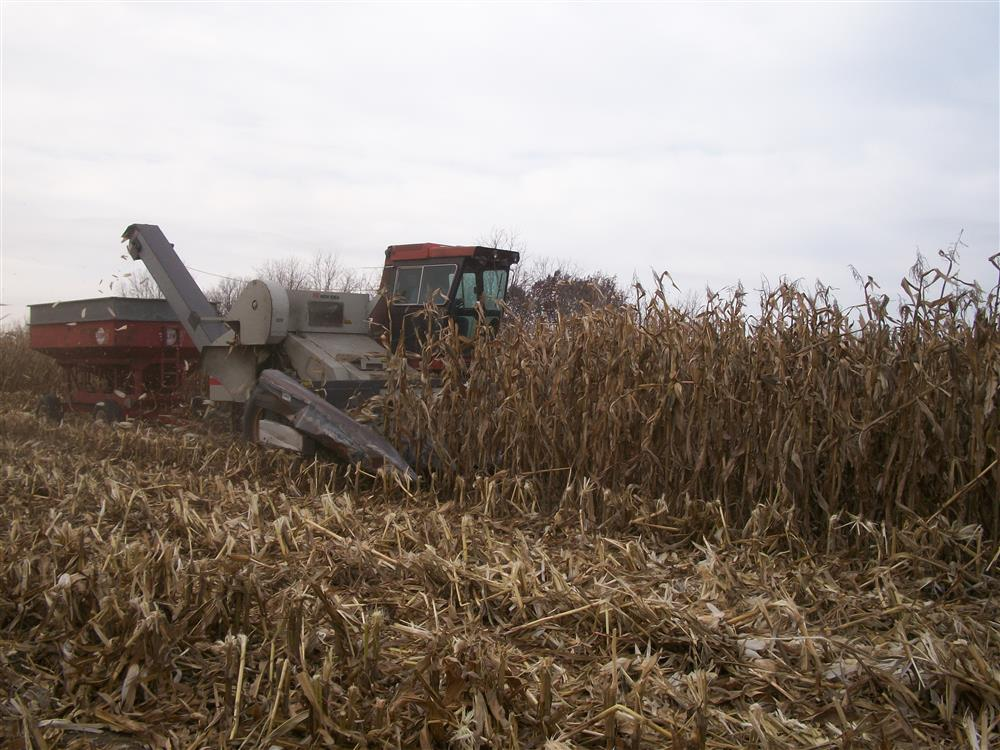 Harvesting the Popcorn from the field